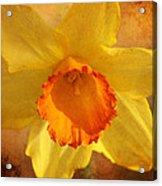 Single Daffodil Acrylic Print