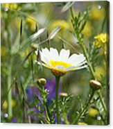 Single Daisy In A Field Acrylic Print
