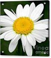 Single Daisy Acrylic Print