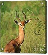 Single Grant's Gazelle Acrylic Print