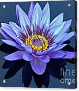 Single Lavender Water Lily Acrylic Print