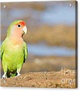 Single Love Bird Seeks Same Acrylic Print
