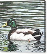 Single Mallard Duck In Water Acrylic Print