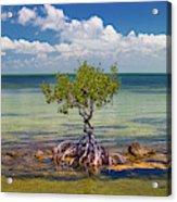 Single Mangrove Tree In The Gulf Acrylic Print