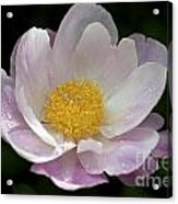 Single Peonie  8444 Acrylic Print