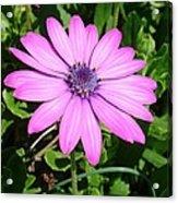 Single Pink African Daisy Against Green Foliage Acrylic Print