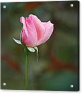 Single Pink Rose Acrylic Print