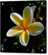 Single Plumeria Acrylic Print