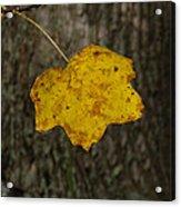 Single Poplar Leaf Acrylic Print