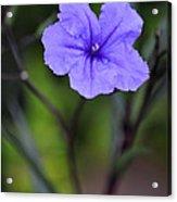 Single Purple Mexican Petunia Ruellia Brittoniana Acrylic Print