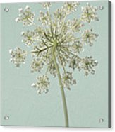 Single Queen Anne's Lace Acrylic Print