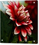 Single Red Dahlia Acrylic Print