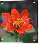 Single Red Flower For A Cure Acrylic Print