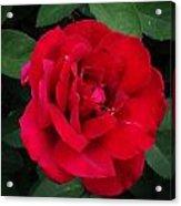 Single Red Rose Acrylic Print