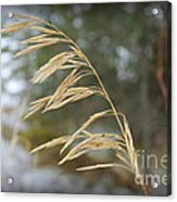 Single Stalk Acrylic Print