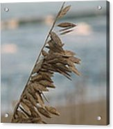 Single Strand Beachgrass Acrylic Print