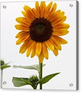 Single Sunflower Acrylic Print