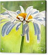 Single White Daisy Blossom Acrylic Print by Sharon Freeman