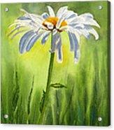 Single White Daisy  Acrylic Print