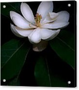 Sweet White Magnolia Bloom Acrylic Print