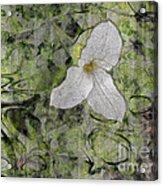 Single White Trillium Acrylic Print