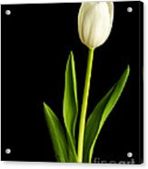 Single White Tulip Over Black Acrylic Print by Edward Fielding