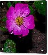 Single Wild Rose Acrylic Print