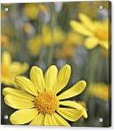 Single Yellow Daisy Acrylic Print