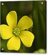 Single Yellow Flower Acrylic Print by John Holloway