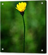 Single Yellow Flower Acrylic Print by Stephanie Grooms
