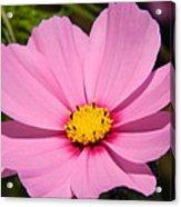 Singular Pink Cosmos Acrylic Print