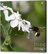 Sipping Nectar Acrylic Print