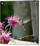 Sipping The Nectar Acrylic Print