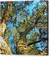Sister Oaks Acrylic Print