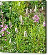 Sitka Burnet And Tall Fireweed In Katmai National Preserve-ak Acrylic Print
