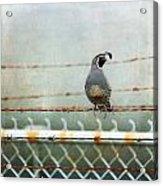 Sittin' On The Fence Acrylic Print