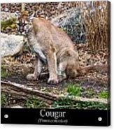 sitting Cougar Acrylic Print