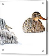 Sitting Ducks In A Blizzard Acrylic Print