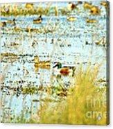 Sitting Ducks Acrylic Print