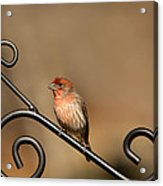 Sitting Pretty Red House Finch Acrylic Print