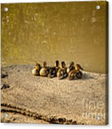 Six Ducklings In A Row Acrylic Print