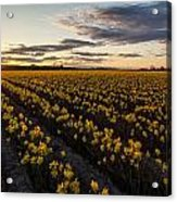 Skagit Daffodils Sunset Sunstar Acrylic Print
