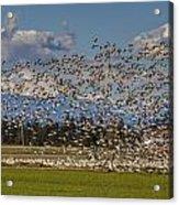 Skagit Snow Geese Liftoff Acrylic Print