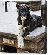 Skeeter The Sled Dog  Acrylic Print