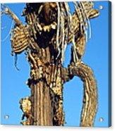 Skeleton Of A Saguaro Tree Acrylic Print