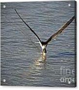Skimmer Fishing Acrylic Print
