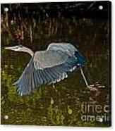 Skimming Great Heron Acrylic Print