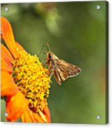 Skipper Butterfly On An Orange Flower Acrylic Print