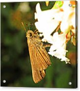 Skipper Butterfly Two Acrylic Print