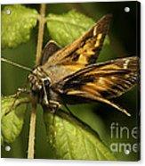 Skipper Moth Acrylic Print